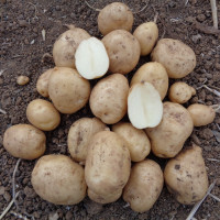 Pomme de terre bonnotte de noirmoutier la bonne graine - Date plantation pomme de terre ...