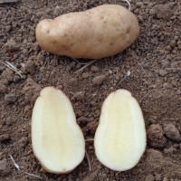 Pomme de terre Ratte
