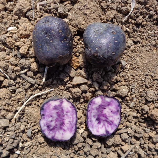 Pack violet les pommes de terre violettes tr s fonc es la bonne graine - Variete de pomme de terre ancienne ...