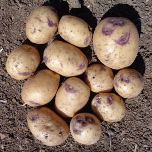 Pomme de terre blue belle la bonne graine - Variete de pomme de terre ancienne ...