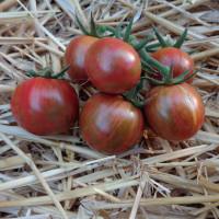 Tomate ARTISAN™ Purple Bumble Bee