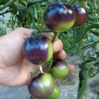 Tomate INDIGO™ Rose