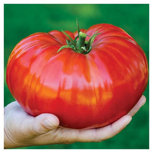 Tomate gigantomo f1 la bonne graine for Noctuelle de la tomate