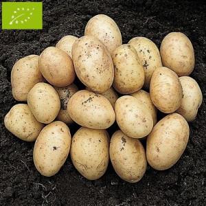 Pomme de terre orla bio la bonne graine - Variete de pomme de terre ancienne ...