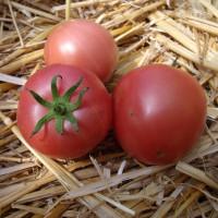 Tomate Malinowy Ozarowski