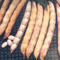 Haricot Pactol (type Paimpol)